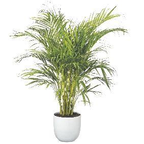 Palm plant buiten